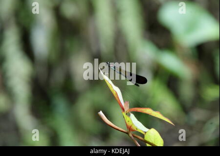 close up of blue and black dragonfly sitting on a green branch in front of lush vegetation - Stock Photo