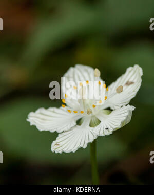 This is Kidneyleaf Grass of Parnassus.  It is relatively rare and only grows in very moist soil.  I found this at - Stock Photo
