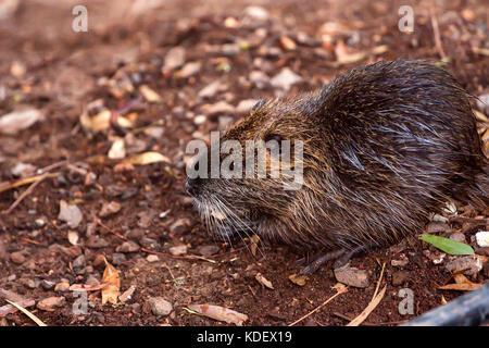 Coypu river rat nutria known as Myocastor coypus - Stock Photo