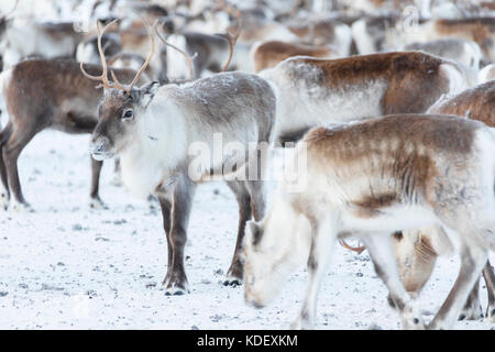 Isolated reindeer of a flock, Abisko, Kiruna Municipality, Norrbotten County, Lapland, Sweden - Stock Photo