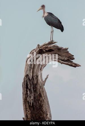 Marabou stork (Leptoptilos crumenifer) standing on top of a curved dead tree - Stock Photo