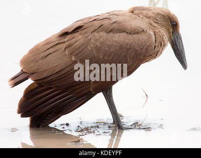 Hamerkop bird (Scopus umbretta) standing in muddy water looking down - Stock Photo