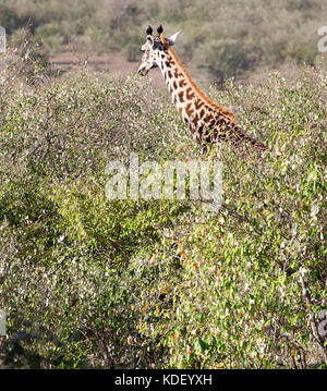 Giraffe (Giraffa camelopardalis) head and neck showing above the tops of the trees - Stock Photo
