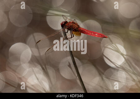broad scarlet dragonfly basking next to pond - Stock Photo