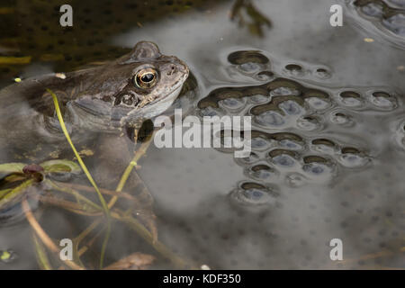common frog in garden pond with spawn - Stock Photo
