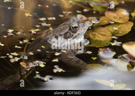 common frog in garden pond - Stock Photo