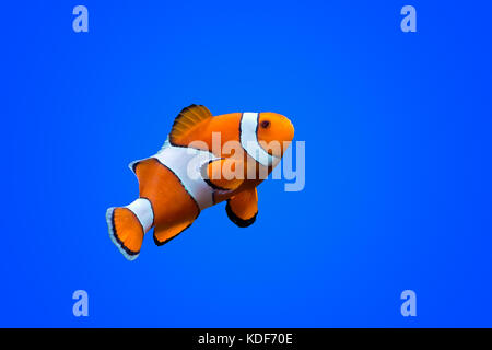 Amphiprioninae clown fish on deep blue sea color background