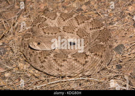 Western Diamond-backed Rattlesnake (Crotalus atrox) from Maricopa County, Arizona, USA. - Stock Photo