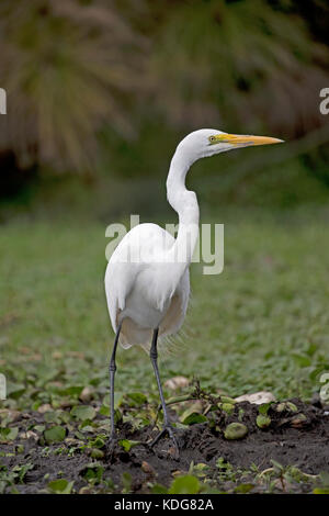 Great white egret Egretta alba Lake Naivasha Kenya - Stock Photo