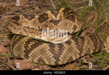 Western Black-tailed Rattlesnake (Crotalus molossus) from Cochise County, Arizona, USA. - Stock Photo