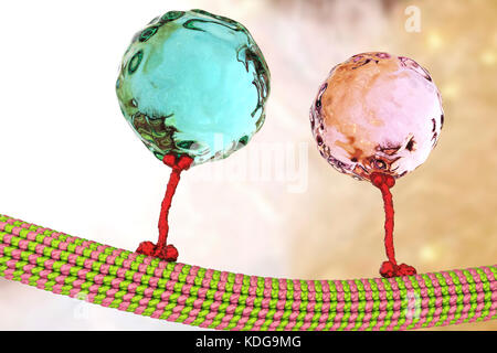 Intracellular transport. Computer illustration of vesicles (spheres) being transported along a microtubule by a - Stock Photo