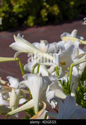 Glorious Lilium candidum  Madonna Lily  a plant in the genus Lilium, one of the true lilies flowering in late spring - Stock Photo