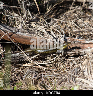 Western Glossy Swamp Skink (Lissolepis luctuosa) , genus Lissolepis sun baking on an old log  in winter at Big Swamp, - Stock Photo