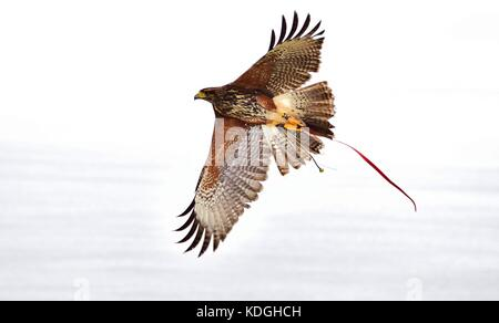 A captive harris hawk, used in falconry, taken out by his falconer for a training flight. Its wings spread, showing - Stock Photo