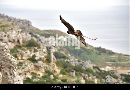 A captive harris hawk, used in falconry, taken out by his falconer for a training flight. Its wings spread, it is - Stock Photo