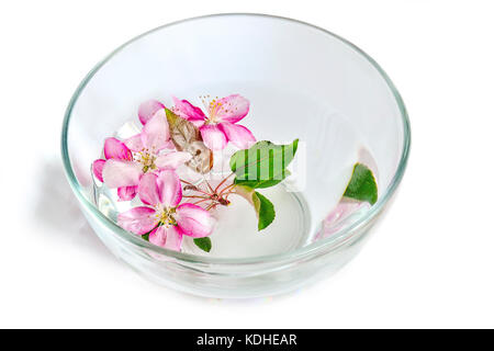 Fresh pink cherry or apple tree flowers floating in the glass bowl with water. Spa treatment, aromatherapy and skincare - Stock Photo