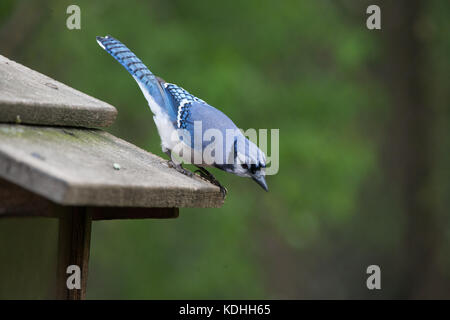 A Blue Jay Looking for Food at a Ojibway Nature Reserve in Windsor, Ontario Canada - Stock Photo