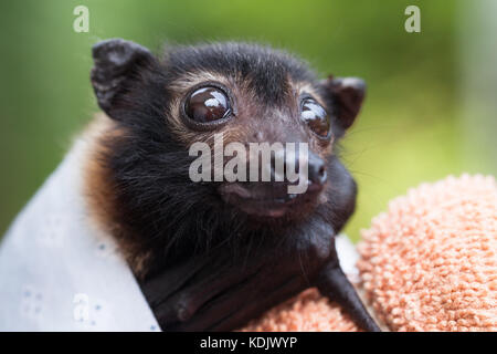 Spectacled Flying-fox (Pteropus conspicillatus). Orphaned baby, with ant bites to ears and nose. Port Douglas. Queensland. - Stock Photo