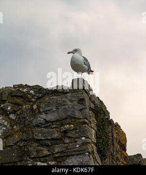 a one-legged Common Gull - Stock Photo