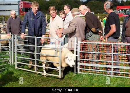 Tenbury Wells, Worcestershire, UK. 14th October, 2017. Sheep auction at Tenbury Wells, Worcestershire, UK - Saturday - Stock Photo