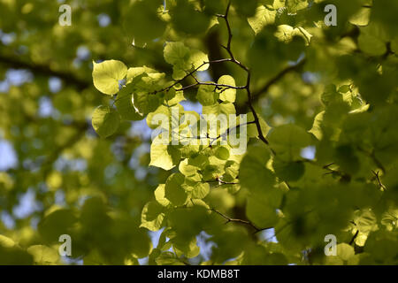 Green tree foliage bathed in warm sunlight - Stock Photo