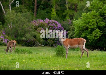 Red deer (Cervus elaphus), Killarney National Park, County Kerry, Ireland - Stock Photo
