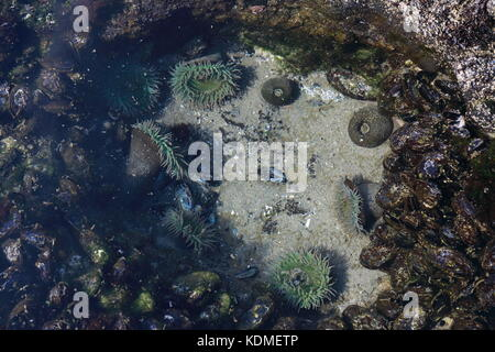 A tidal pool filled with sea anemones and mussels on the West Coast Oregon USA - Stock Photo