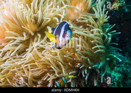 Yellowtail clownfish, Amphiprion clarkii  (Bennett, 1830) and big sea anemone Exocoelactis actinostoloides  (Wassilieff, - Stock Photo