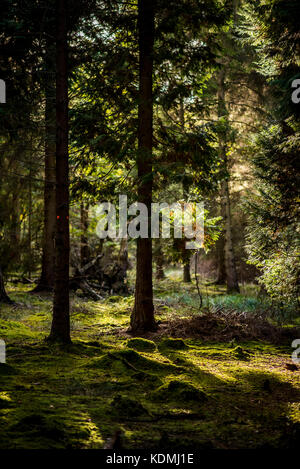 Sunset through Woodland Landscape with moss covered floor, UK - Stock Photo