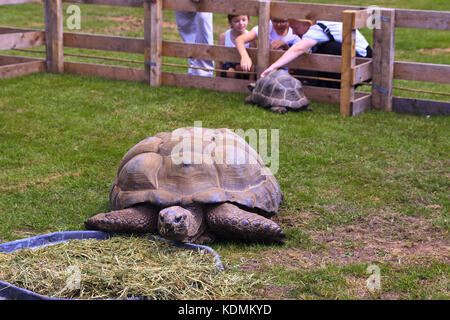 Aldabra Giant Tortoise eating grass - Stock Photo