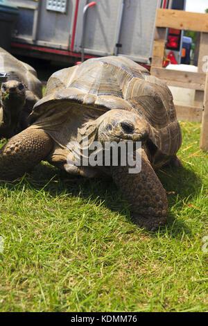 Aldabra Giant Tortoises - Stock Photo