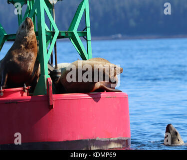 Stellar Sea Lions interacting with each other as they via for dominance and a spot to rest on a large ocean buoy - Stock Photo