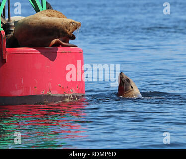 Stellar Sea lions arguing over who gets to rest on a large ocean buoy - Stock Photo
