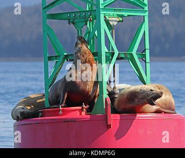 Closeup of Stellar Sea Lions (Eumetopias jubatus) enjoying a beautiful Alaska day on a buoy. - Stock Photo