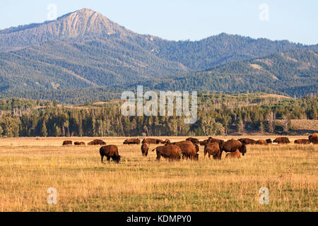 Herd of Bison grazing in the plains in the Grand Teton National Park, WY, USA - Stock Photo
