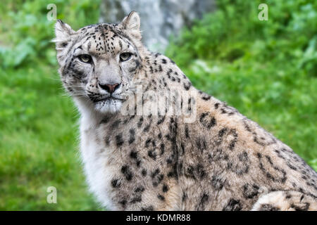 Snow leopard / ounce (Panthera uncia / Uncia uncia) native to the mountain ranges of Central and South Asia - Stock Photo