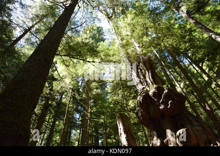 Avatar Grove with its majestic old-growth forest was only recently discovered by loggers and m - Stock Photo