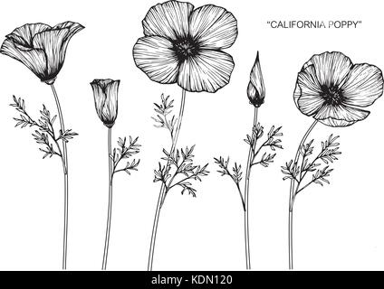 California poppy flower drawing illustration black and white with california poppy flower drawing illustration black and white with line art stock photo mightylinksfo