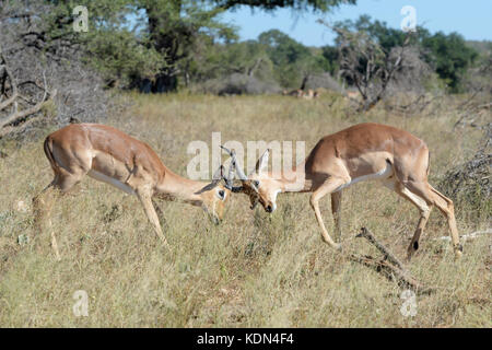Two Impala (Aepyceros melampus) male fighting for dominance, Kruger National Park, South Africa - Stock Photo