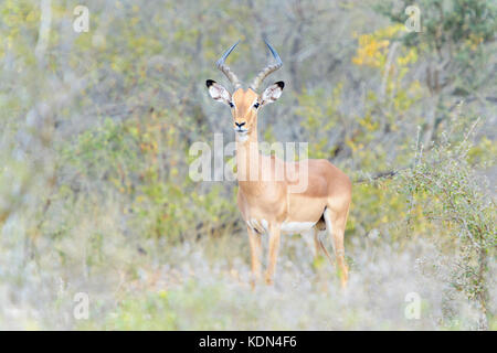 Impala (Aepyceros melampus) male standing in bush, looking at camera, Kruger National Park, South Africa - Stock Photo