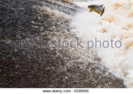 Selkirk, Scottish Borders, UK. 13th October 2017. An Atlantic Salmon (Salmo salar) leaps upstream over a cauld on - Stock Photo