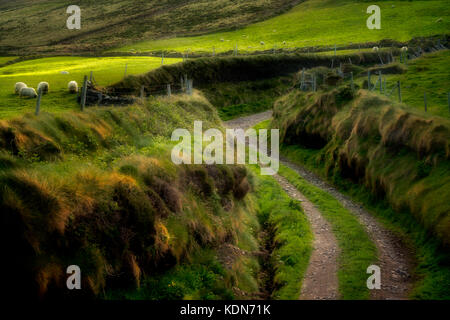 Side road off of Slea Head Drive. with sheep. County Kerry, Ireland - Stock Photo