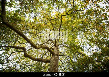 London Plane tree in Autumn at Kew Gardens London - Stock Photo