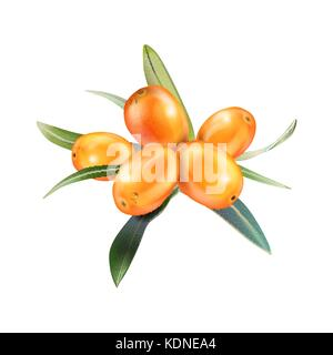 Sea buckthorn isolated on the white. Vector illustration in 3d style. The concept of realistic image of medical - Stock Photo