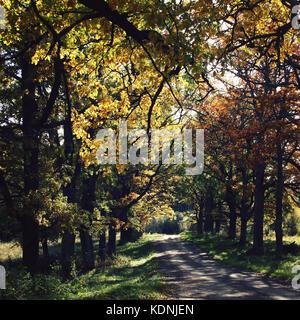 Oak alley. Yellow autumn leaves. Valaam island. Walking in the forests of the Valaam island. Valaam island, Kareliya, - Stock Photo