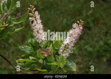 Clethra alnifolia 'Pink Spire' - Stock Photo