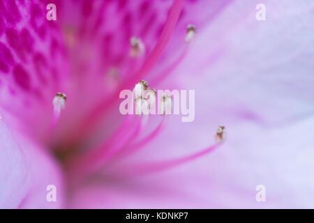 Pink Azalea flower(Rhododendron sp.) close up. Cultivar. Hopkins Creek. New South Wales. Australia. - Stock Photo