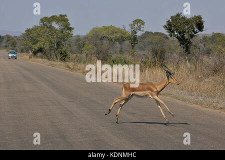 Male Impala running across a road in the Kruger National Park, South Africa - Stock Photo