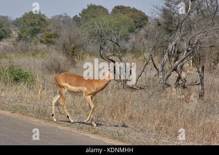 Male Impala at the side of the road in the Kruger National Park, South Africa - Stock Photo