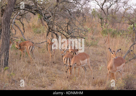 Herd of Impala in the Kruger National Park, South Africa - Stock Photo